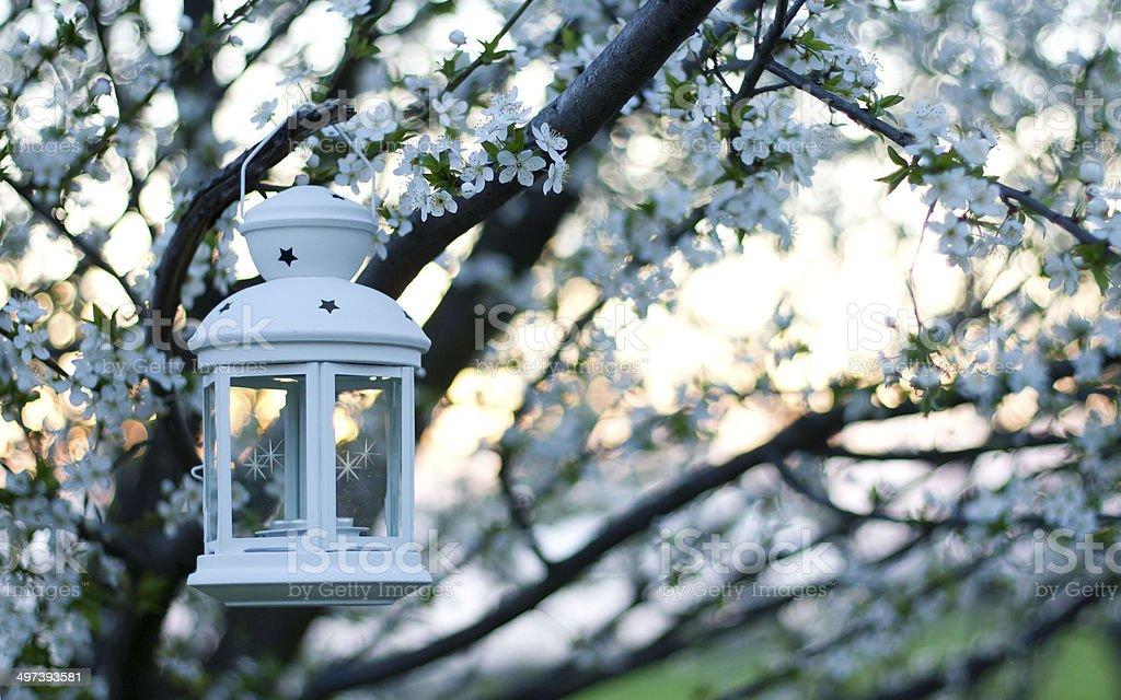 Cherry tree blossoms with lantern stock photo