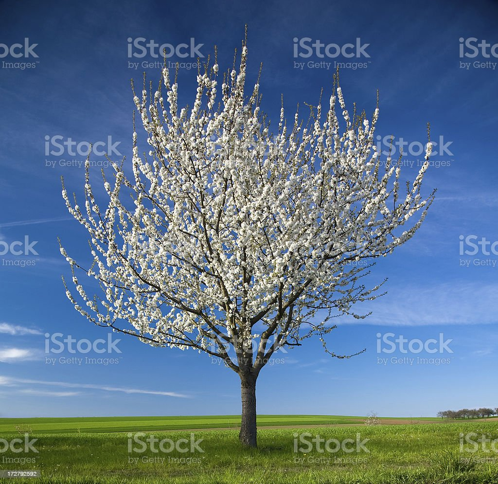 cherry tree - blue sky stock photo