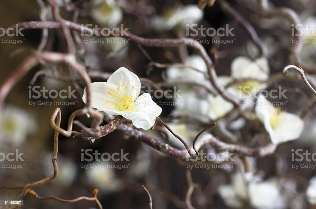 Cherry tree branch in bloom royalty-free stock photo