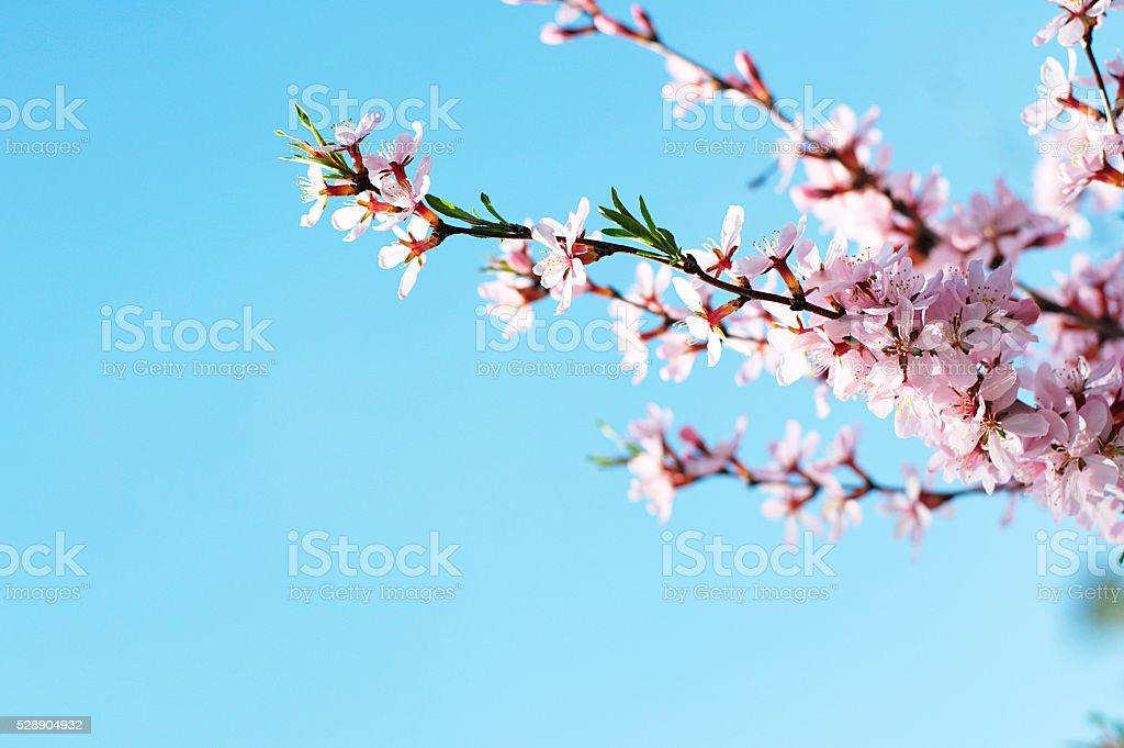 Cherry tree branch stock photo