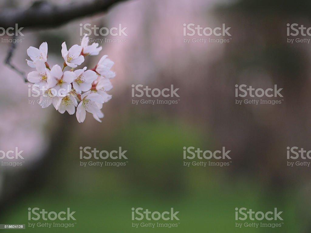 Cherry tree flower stock photo