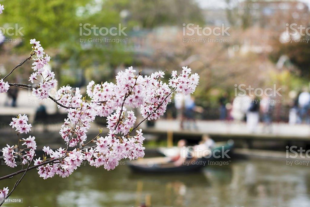 Cherry tree flowers in Tivoli gardens stock photo