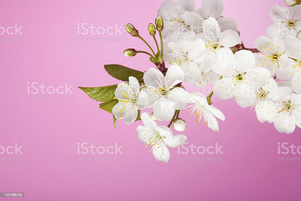 cherry tree flowers on pink background royalty-free stock photo