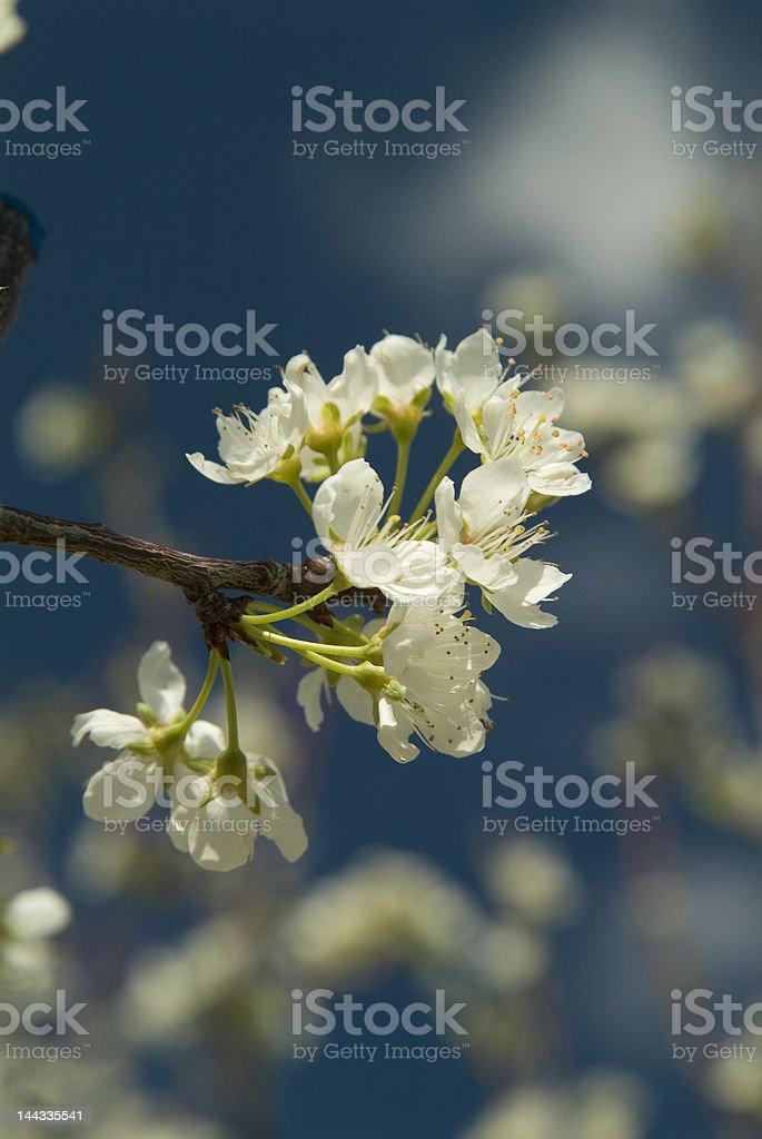 cherry tree flowers royalty-free stock photo
