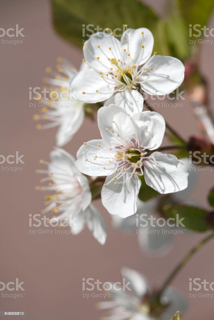 cherry tree flowers stock photo