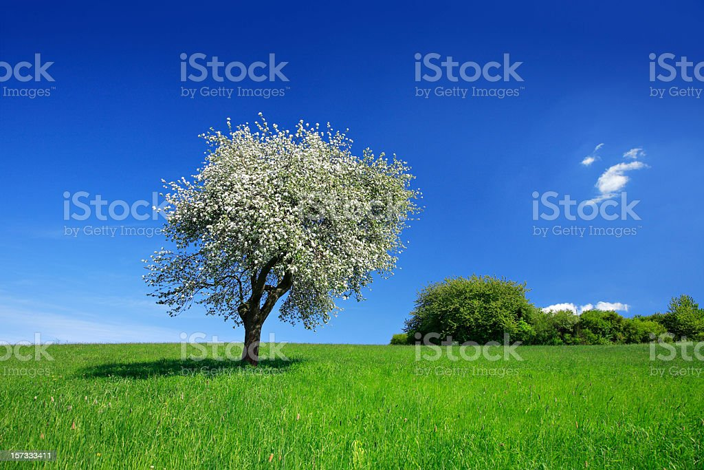 Cherry Tree in Bloom royalty-free stock photo