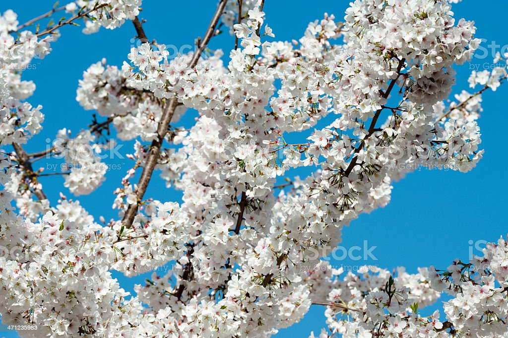 Cherry Tree in Bloom stock photo