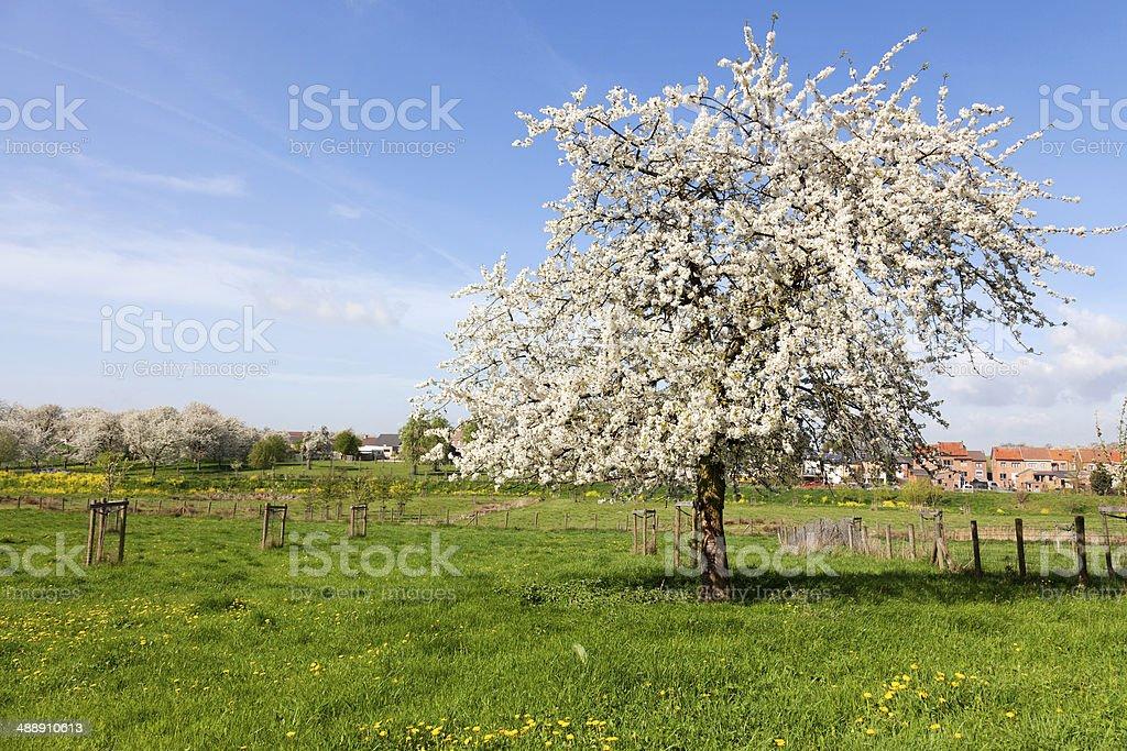 Cherry tree in blossom, Haspengouw, Belgium stock photo