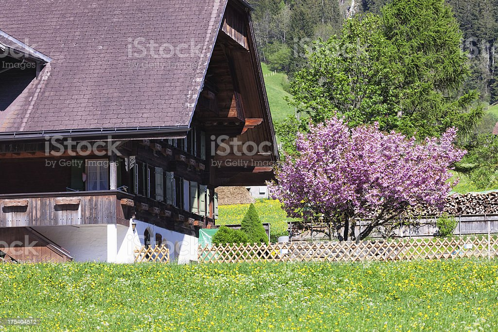 Cherry Tree in Blossom, Swiss Chalet House, spring afternoon stock photo