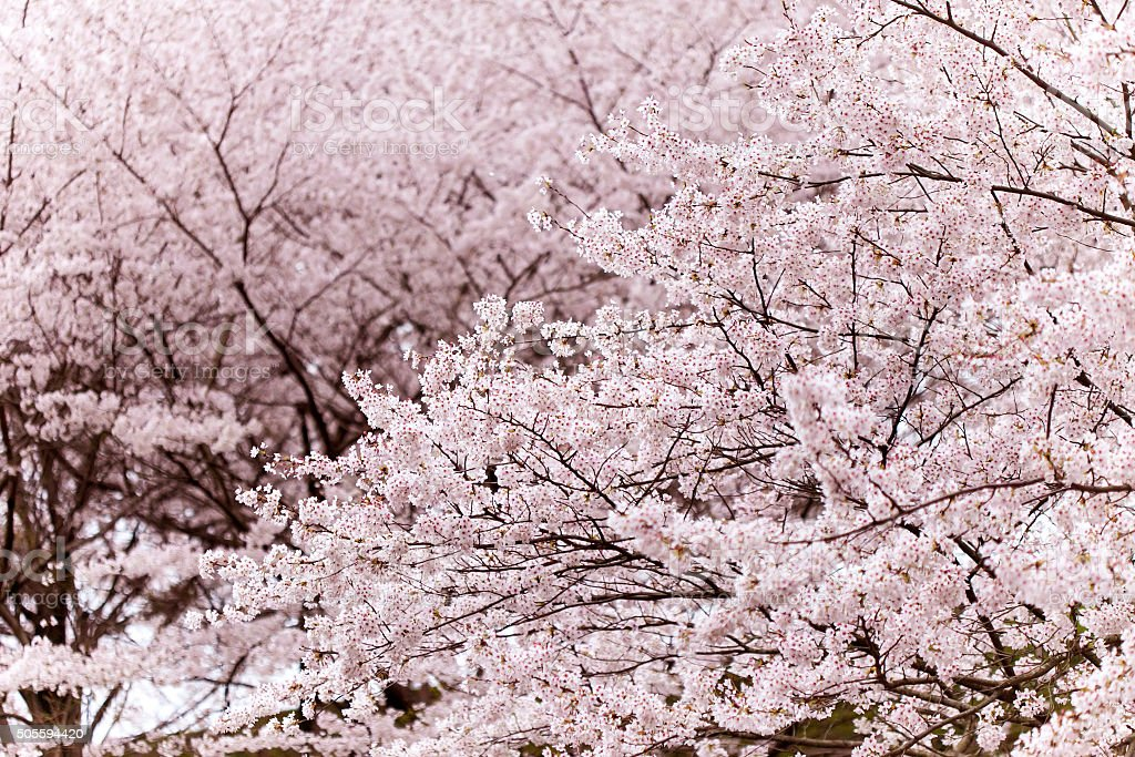 Cherry tree in full bloom stock photo