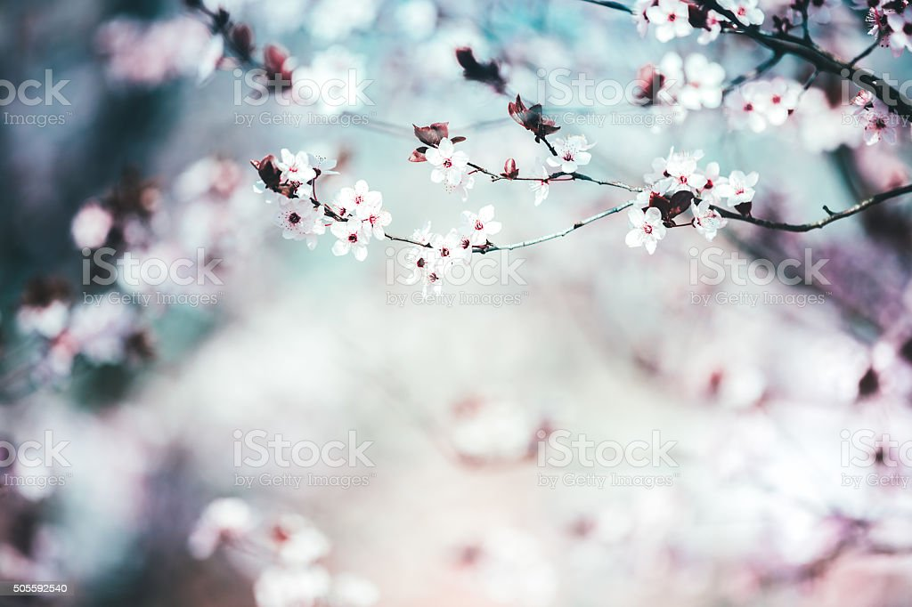 Cherry Tree In Spring stock photo