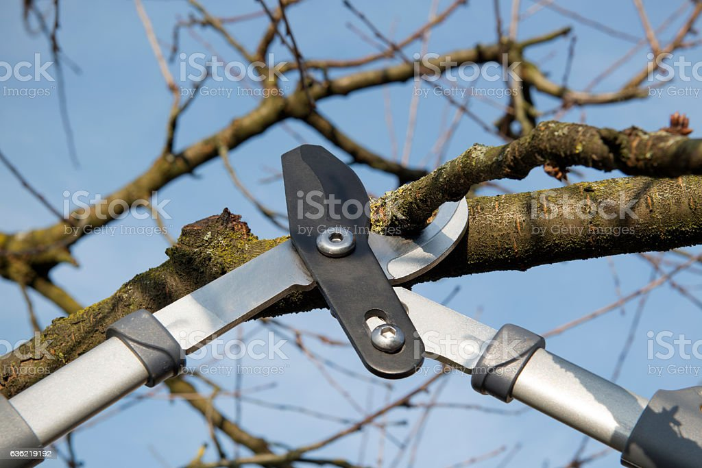 Cherry tree is trimmed with pruning shears stock photo