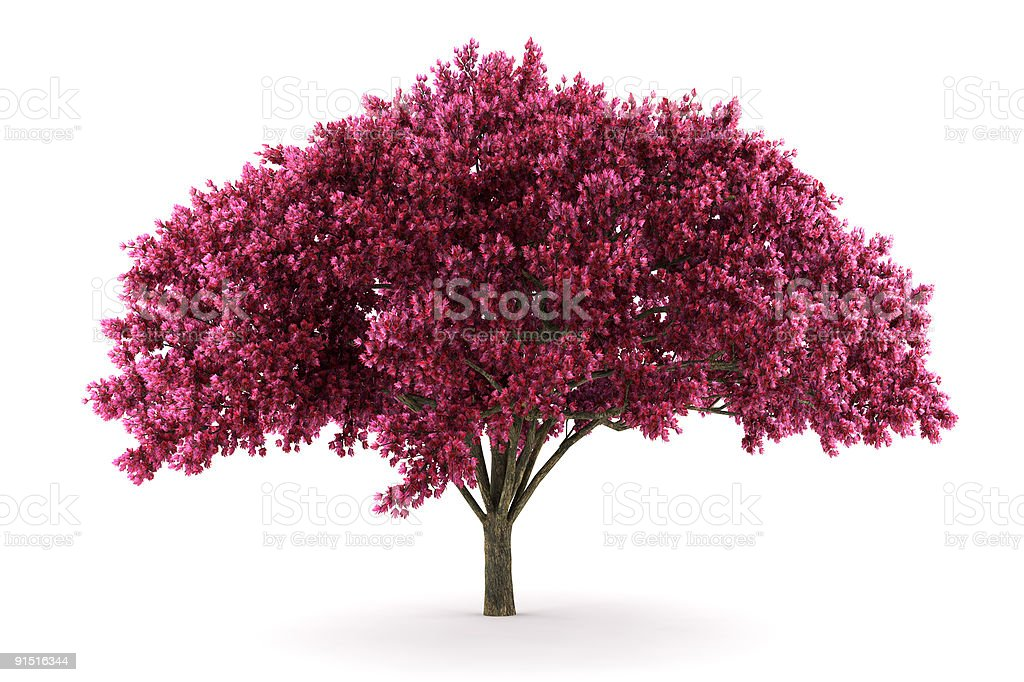 cherry tree isolated on white background stock photo