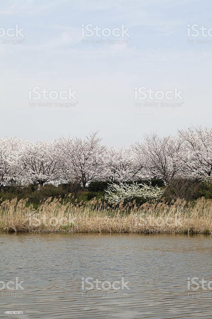 cherry tree near a lake stock photo