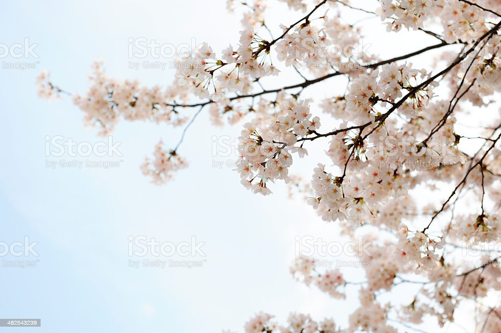 Cherry tree of full bloom with copy space stock photo