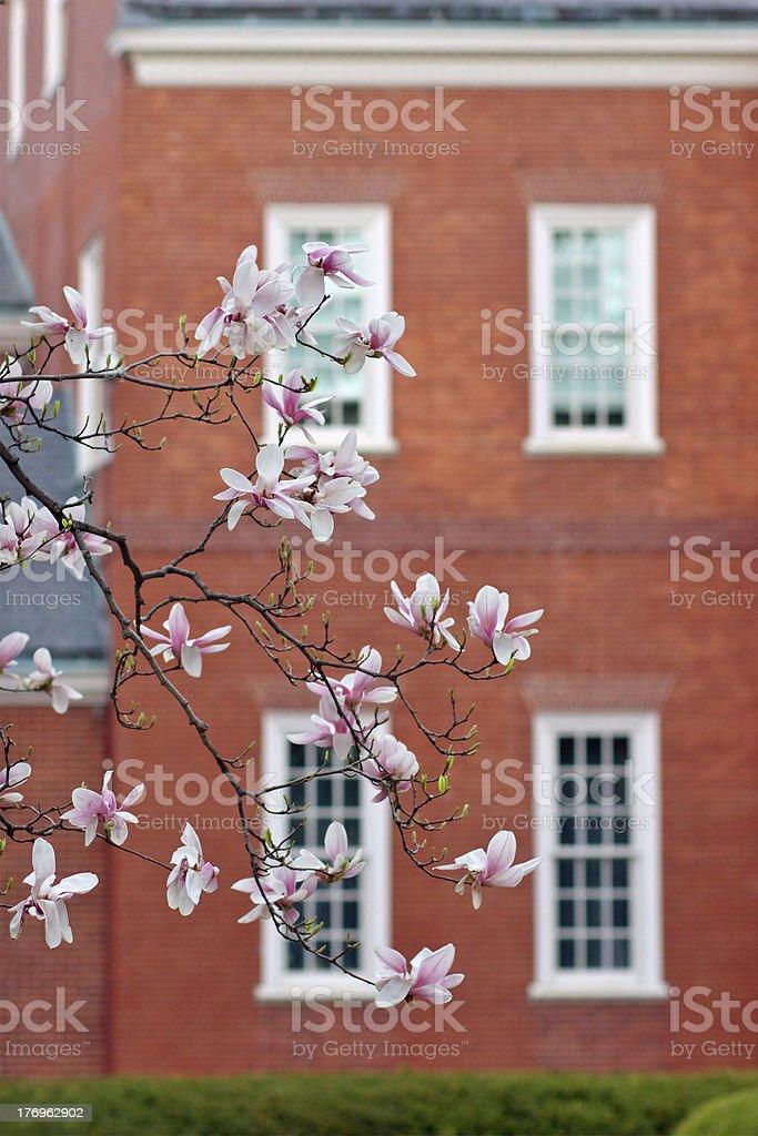 Cherry tree over brick house royalty-free stock photo