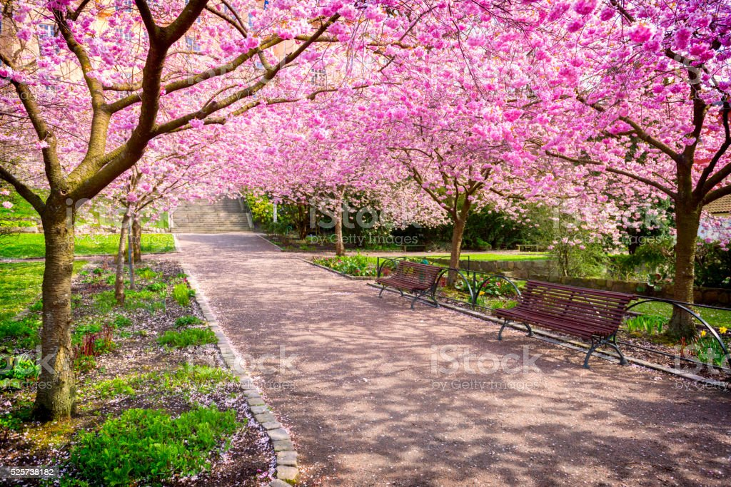 Cherry tree park in full bloom stock photo