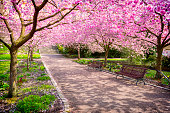 Cherry tree park in full bloom
