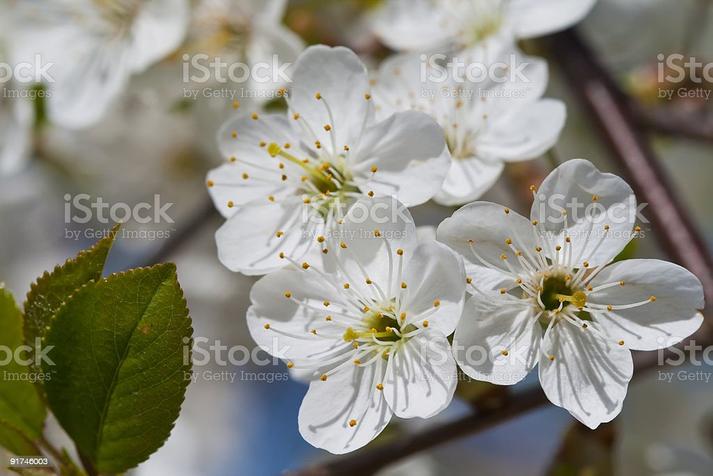 Cherry tree royalty-free stock photo