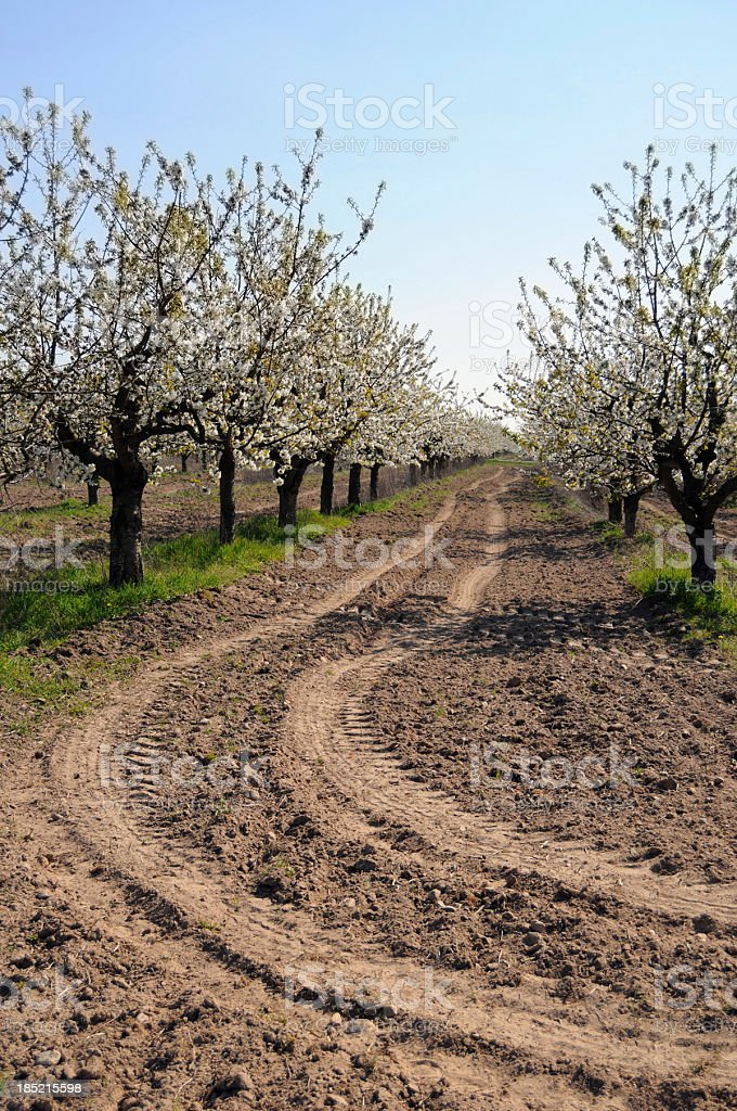 cherry tree plantation in Werder (Germany) stock photo