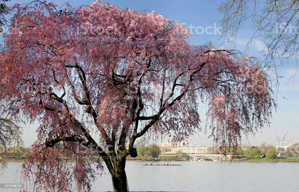 Cherry Tree, Potomac River stock photo