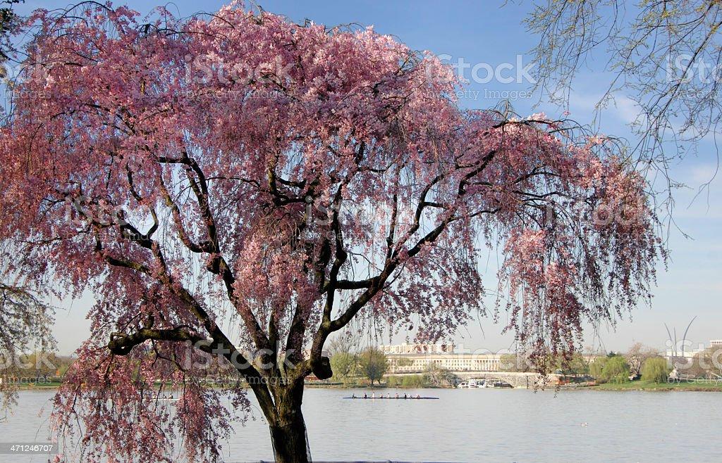 Cherry Tree, Potomac River stock photo
