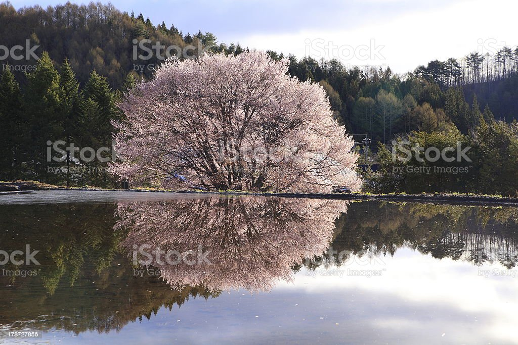 Cherry tree reflection in water stock photo