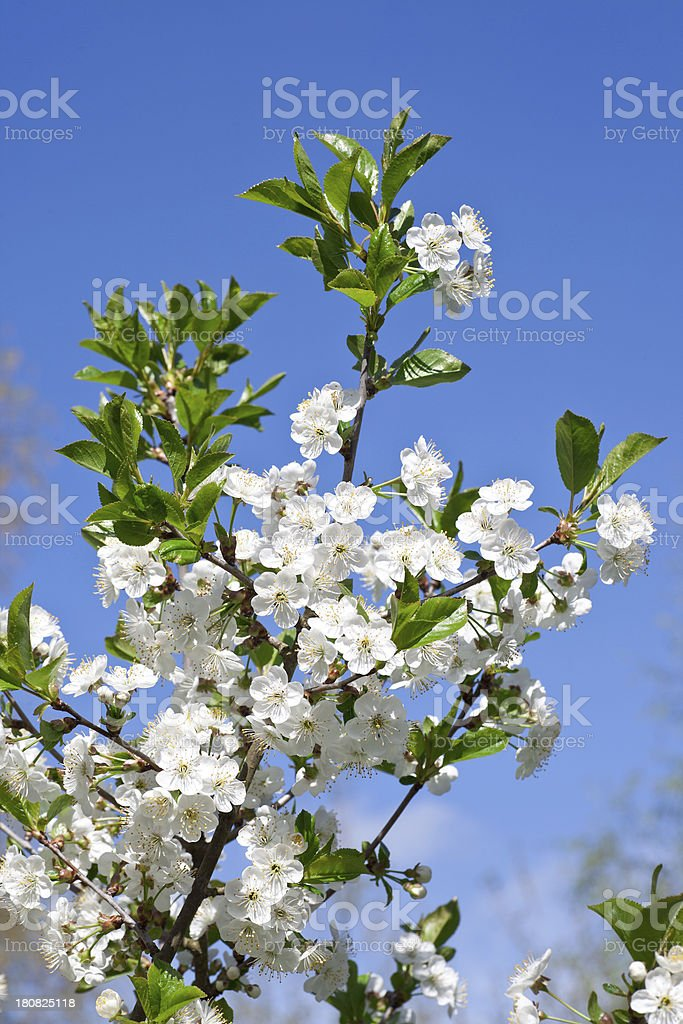 Cherry tree with blossoms royalty-free stock photo