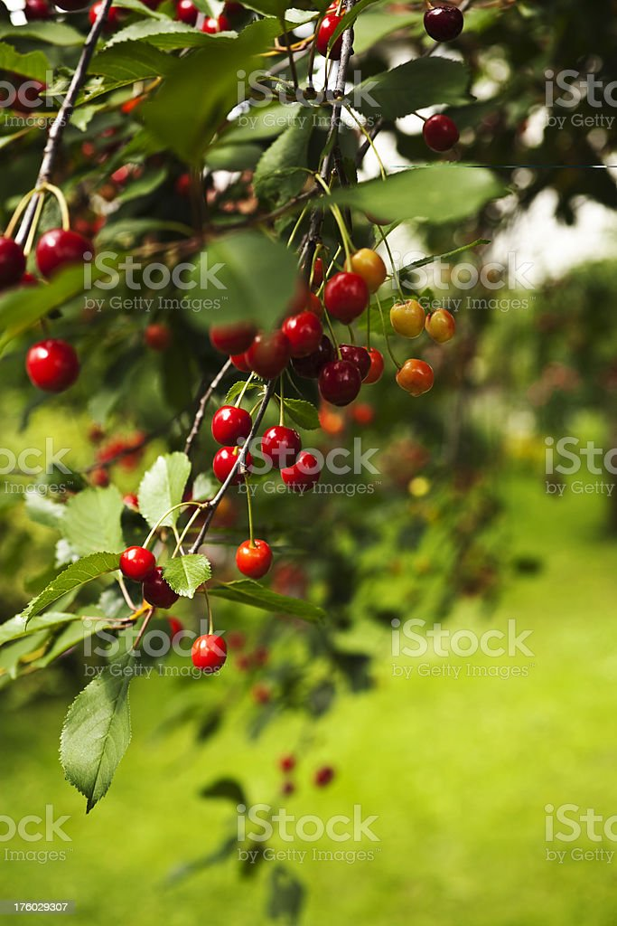 Cherry tree with wet ripe cherries after the rain. royalty-free stock photo