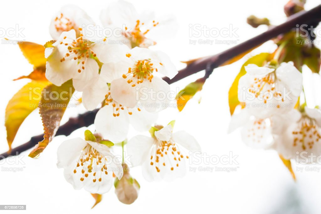 Cherry Tree with White Blossoms stock photo