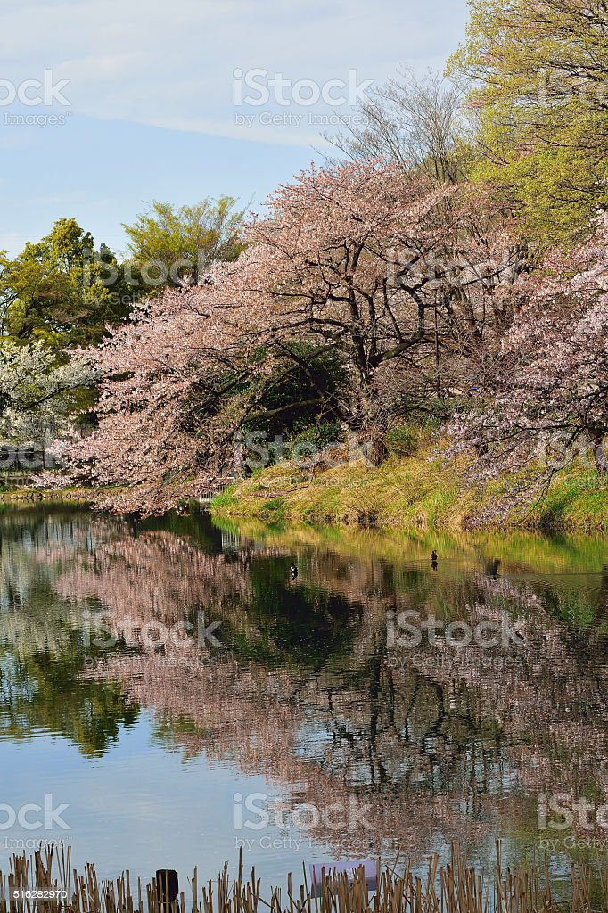 Cherry Trees are full bloom around pond in Japan stock photo