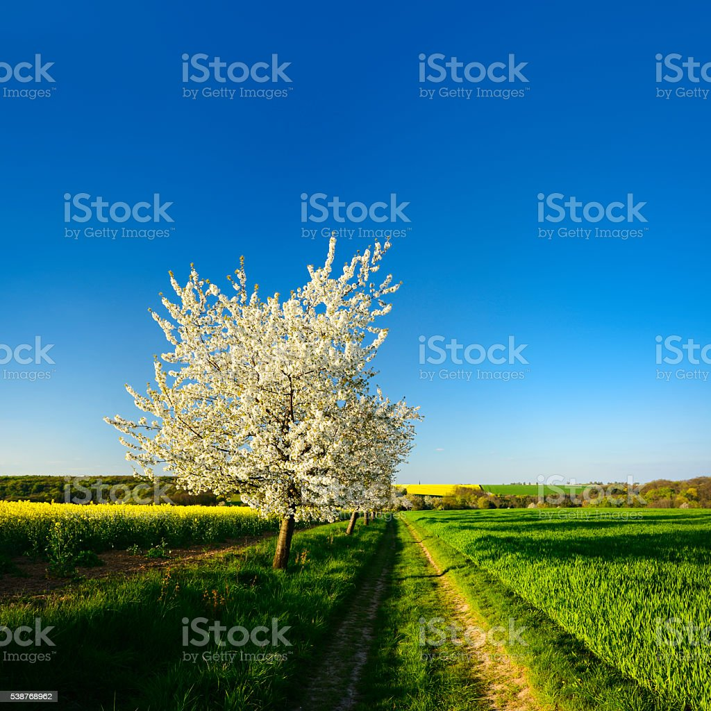 Cherry Trees blooming along Canola Field in Rural Spring Landscape stock photo