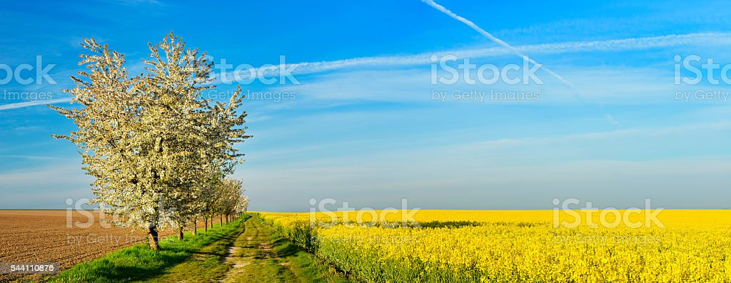 Cherry Trees blooming along Canola Field in Spring at Sunrise stock photo
