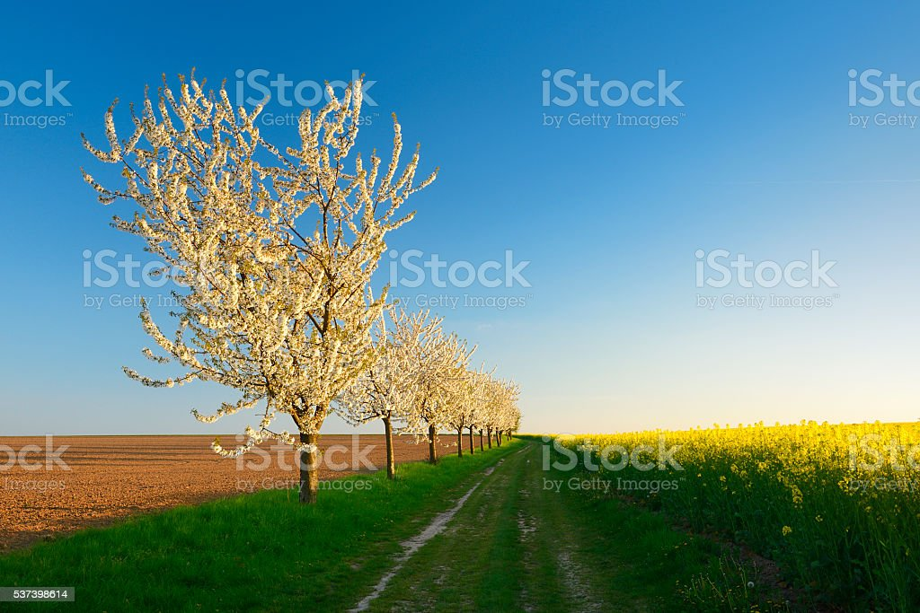 Cherry Trees blooming along Canola Field in Spring at Sunset stock photo