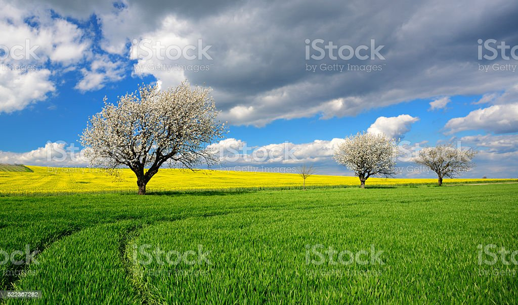 Cherry Trees Blossoming in Spring Landscape under Dramatic Sky stock photo