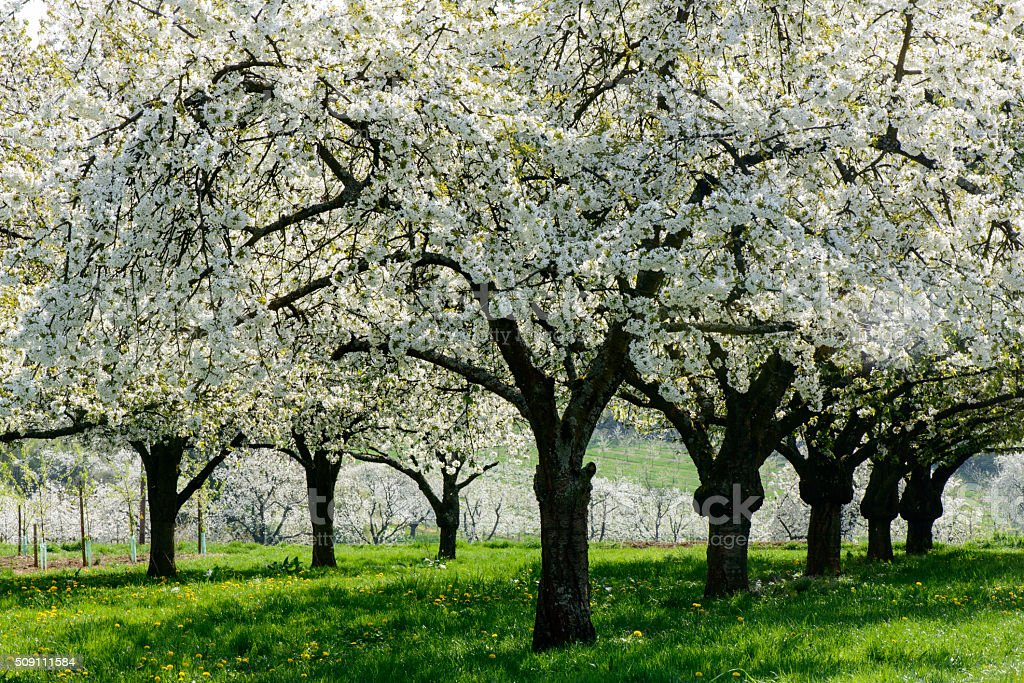 Cherry trees in an orchard stock photo