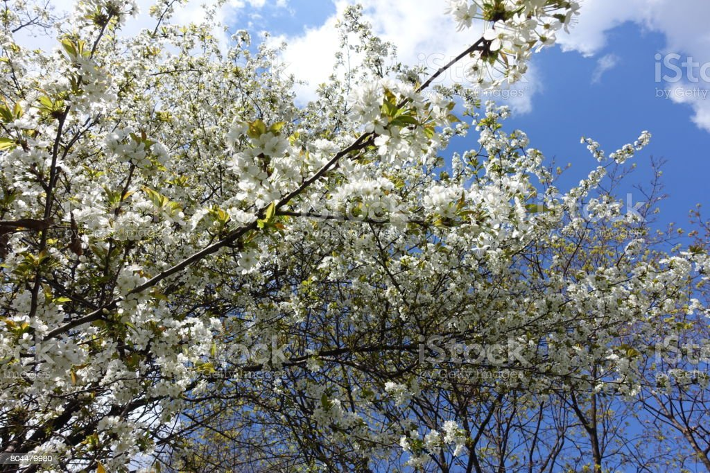 Cherry trees in full bloom against the sky stock photo