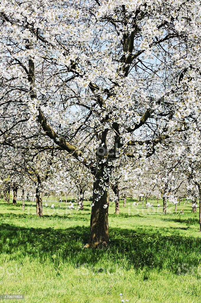 Cherry trees in full bloom in springtime stock photo