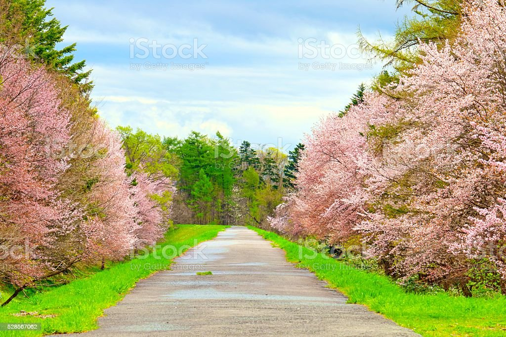 Cherry trees of foreign species sample forest in Asahikawa stock photo
