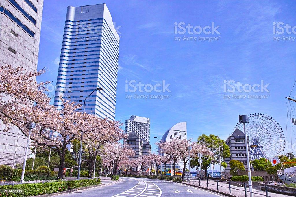 Cherry trees of Yokohama cherry street stock photo