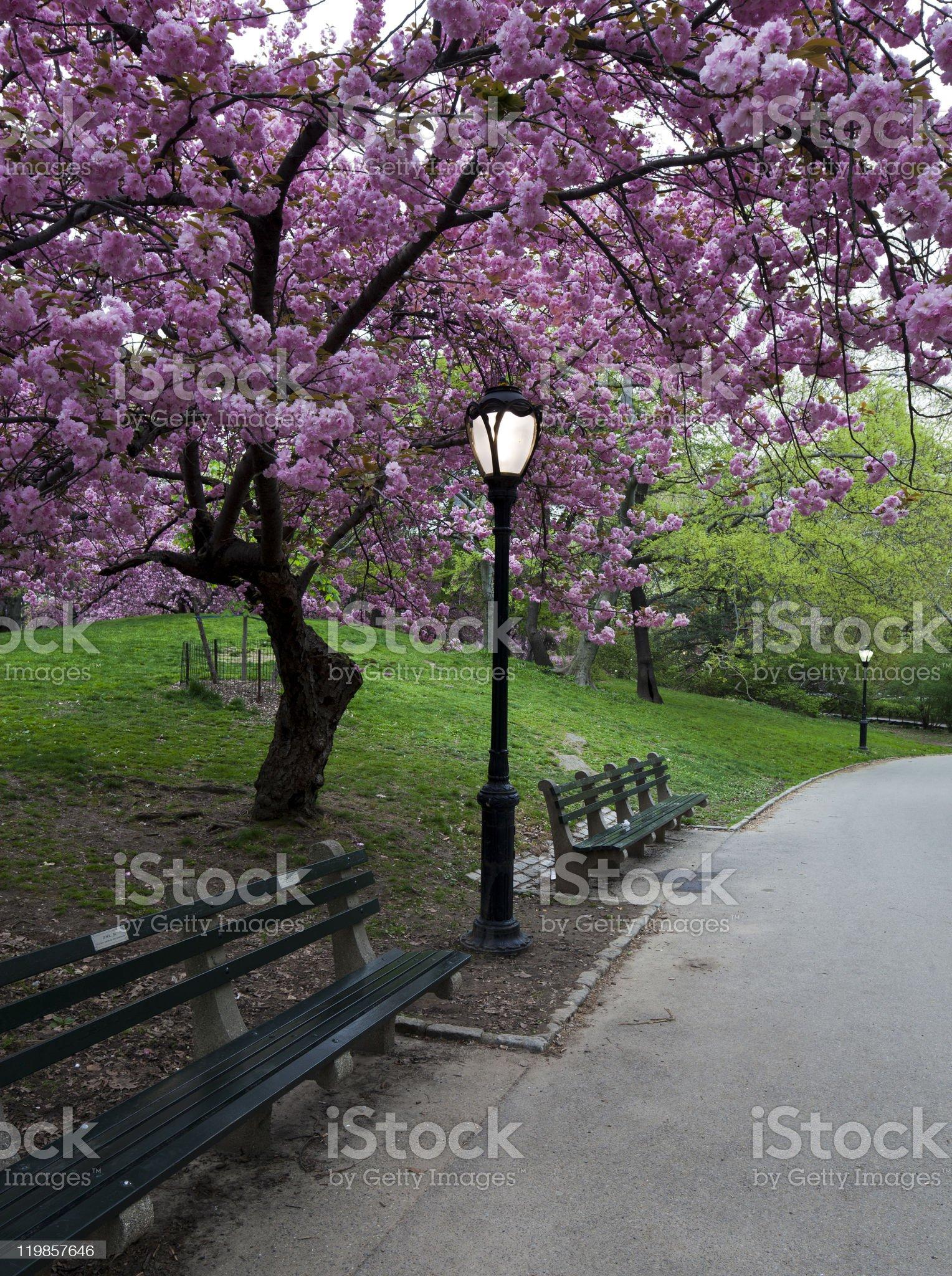 Cherry trees royalty-free stock photo