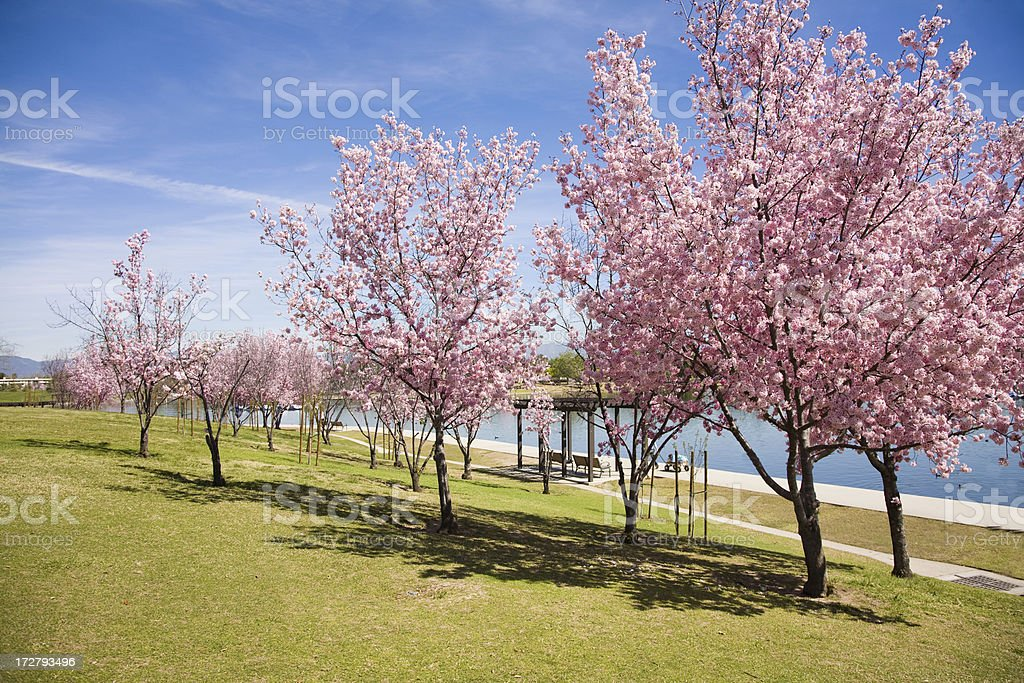 cherry trees royalty-free stock photo