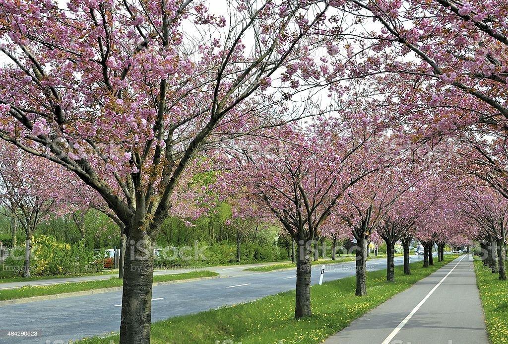 cherry trees stock photo
