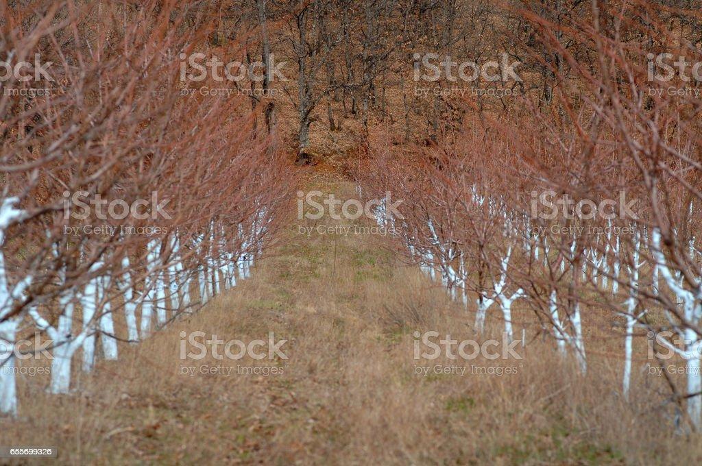 Cherry trees treated with Bordeaux mixture to combat mildew. stock photo