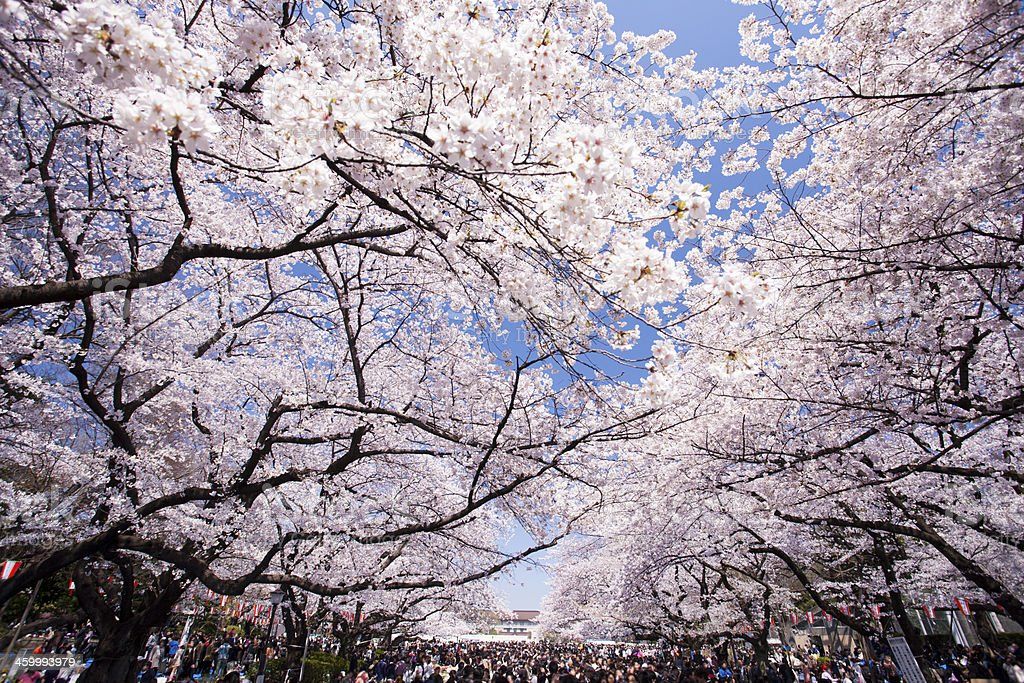Cherry trees with blossoming flowers in Ueno Park stock photo