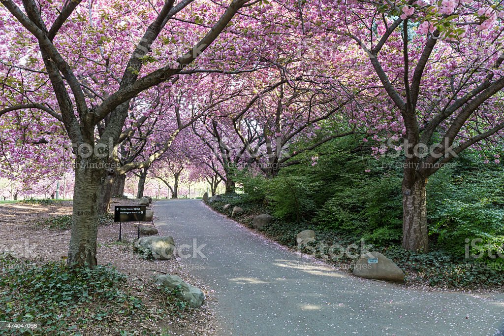Cherry Walk in Full Bloom stock photo