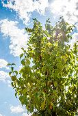 Cherry-plum tree