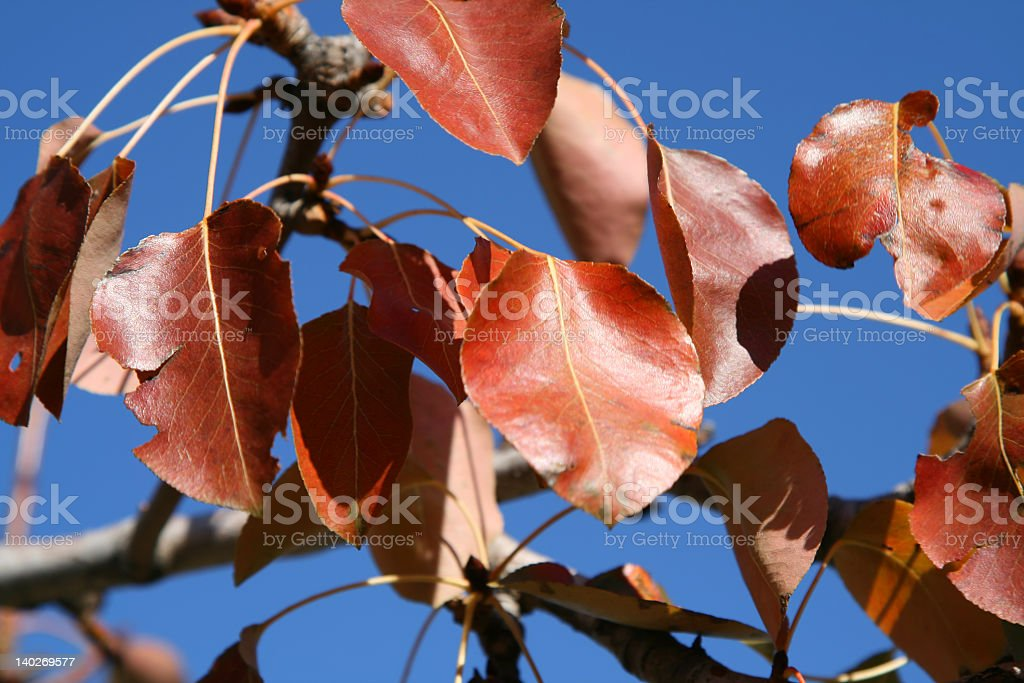 Cherry-tree red leaves royalty-free stock photo