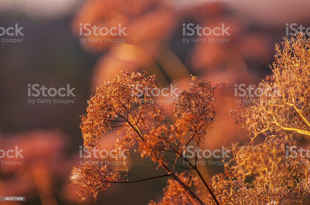 Chervil Anthriscus cerefolium in pink organge sunlight royalty-free stock photo