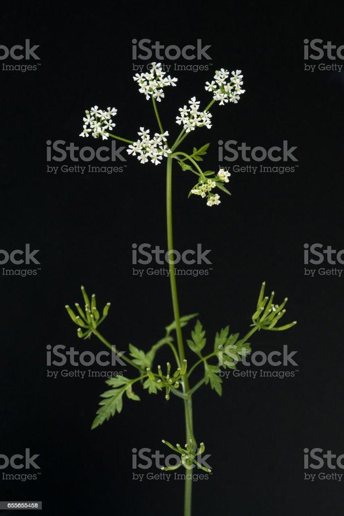 Chervil; Anthriscus; Cerefolium stock photo